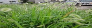 Names of Cattle Grass