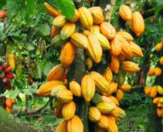Nigerian Cocoa Farmers