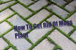 How To Get Rid Of Moss Plant