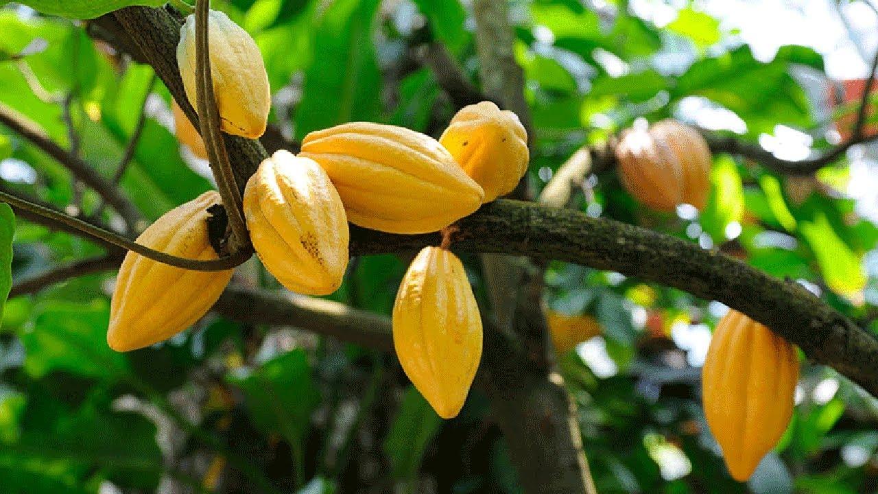 Cocoa Farming Business
