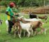 Goats Business In Nigeria