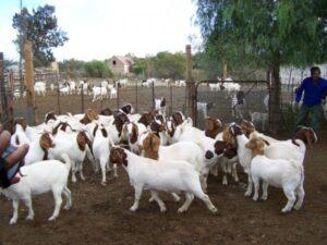 Goats Farming