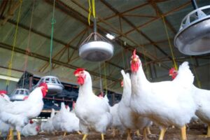 Poultry Farming Business In Nigeria